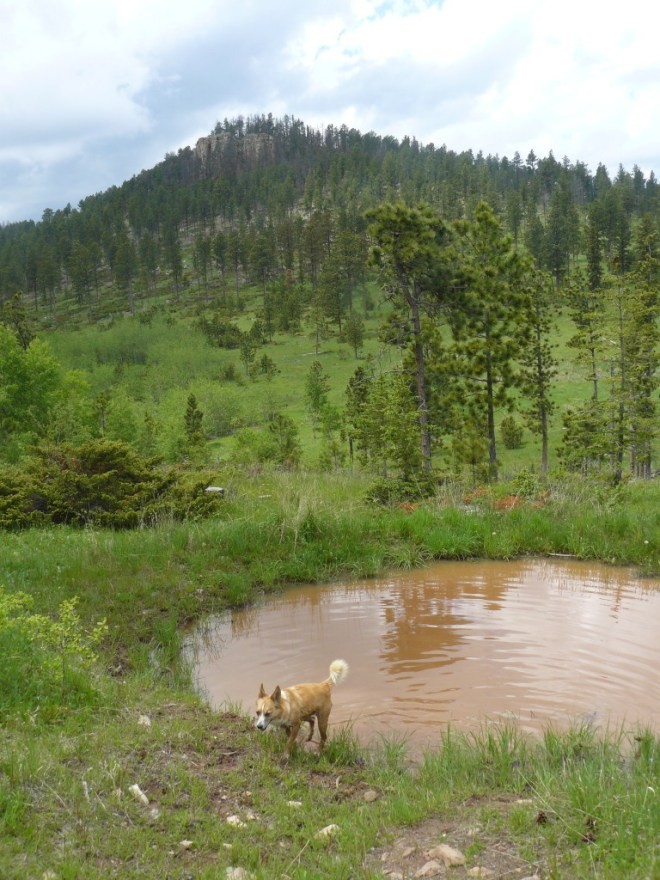 Lupe exits the mud puddle NW of Nipple Butte after a big drink of mineral water and a mud bath.