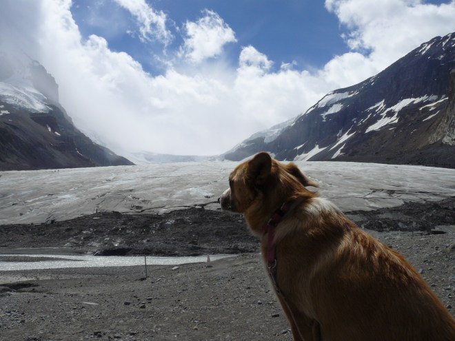 Lupe near the toe of the Athabasca Glacier, Jasper National Park, Canada 7-27-13
