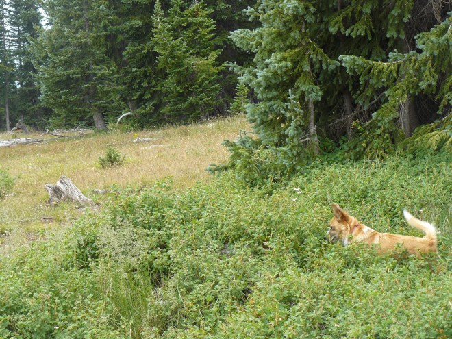 American Dingo at Libby Flats S of Snowy Range Pass in Wyoming.