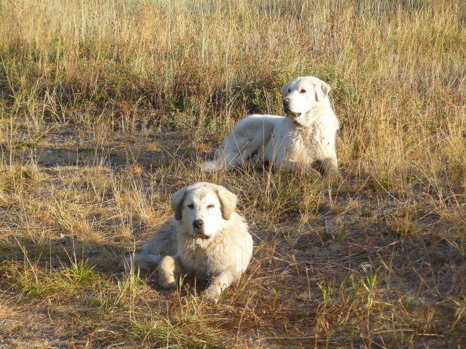 Lost or abandoned old dogs? SPHP thought maybe they were.
