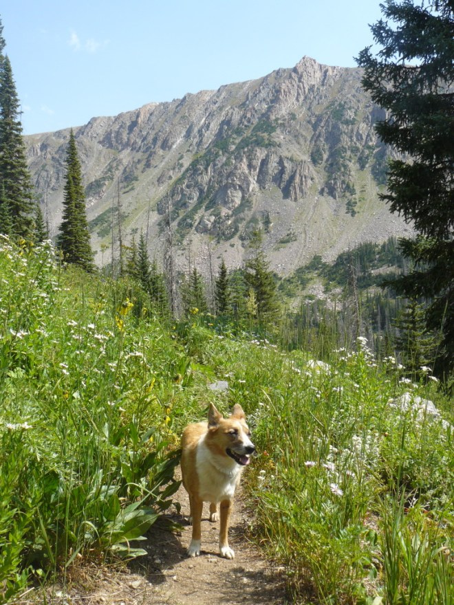 Here Lupe is still on the Gold Creek Lake Trail, now NE beyond the junction with the Gilpin Trail. Flattop Mountain lies ahead. Photo looks NE.