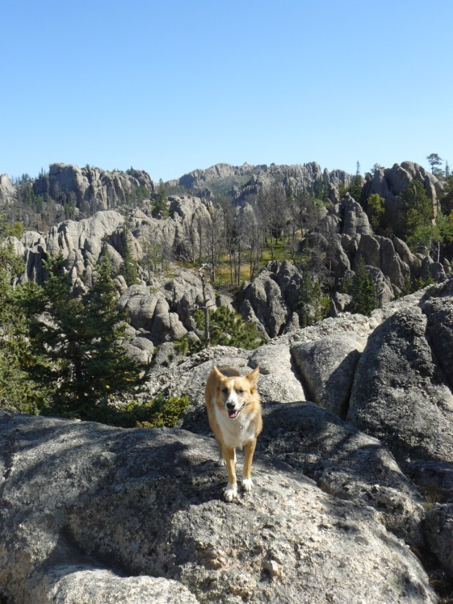 Lupe on the rock ledges with Harney Peak in the background. Photo looks E.