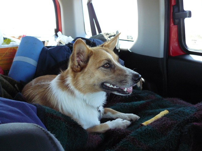 Lupe sets out on her first ever Dingo Vacation in Lanis' Honda Element perched comfortably on a pile of blankets.