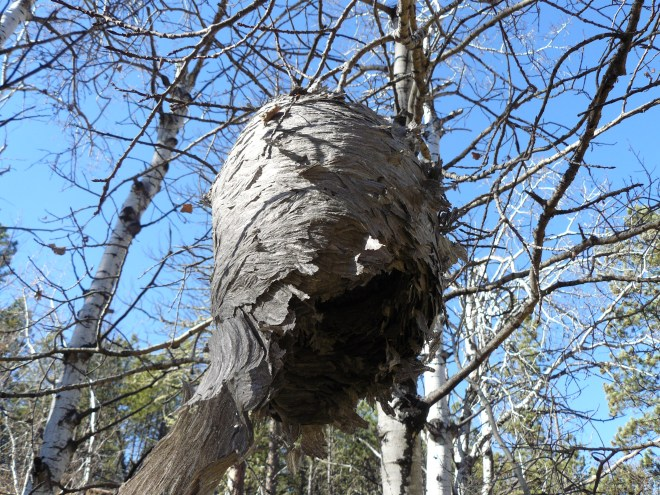 This wasp's nest wasn't very active, but there were still a couple of bees that flew up into it.