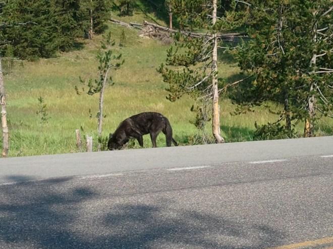 Black Wolf, Yellowstone NP, WY 8-12-12