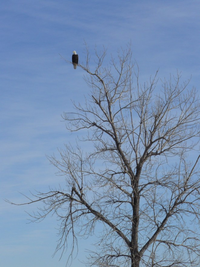 Bald eagle in a tree near the W shore of Bear Butte Lake.