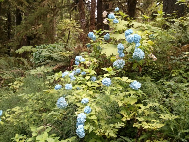 Large flower clusters like these bloomed in impressive profusion near Lake Quinault Lodge. Some of the bushes had light blue flowers, like those shown here, others had lavender blossoms.