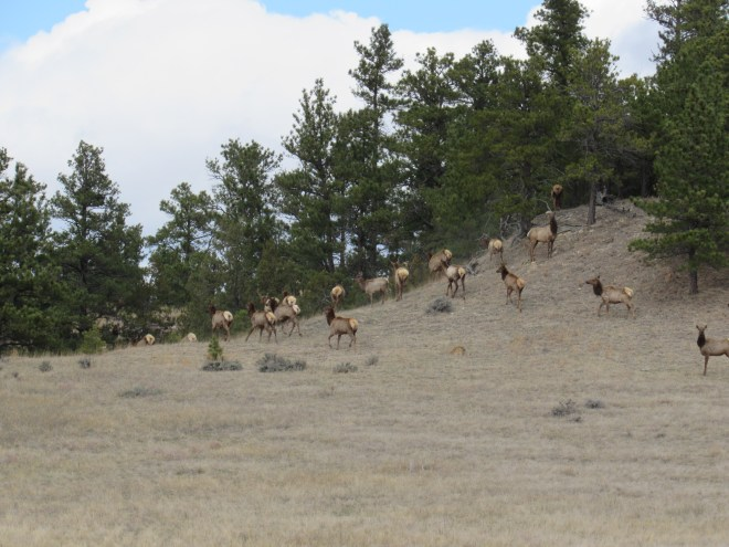 The last of the big elk herd disappears into the trees by an even smaller hill N of Red Point. Photo looks N.