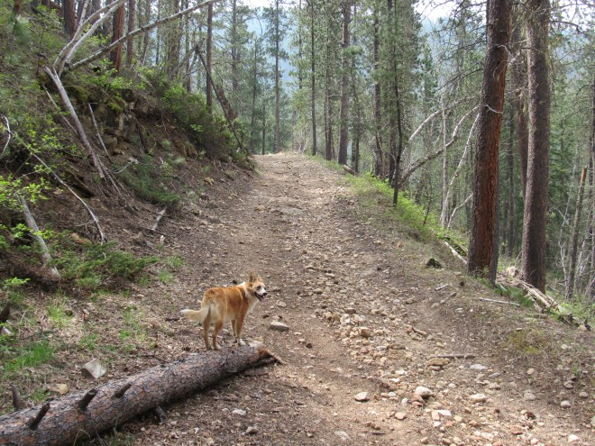 Lupe on USFS Road No. 186.2 on her way to Little Crow Peak.