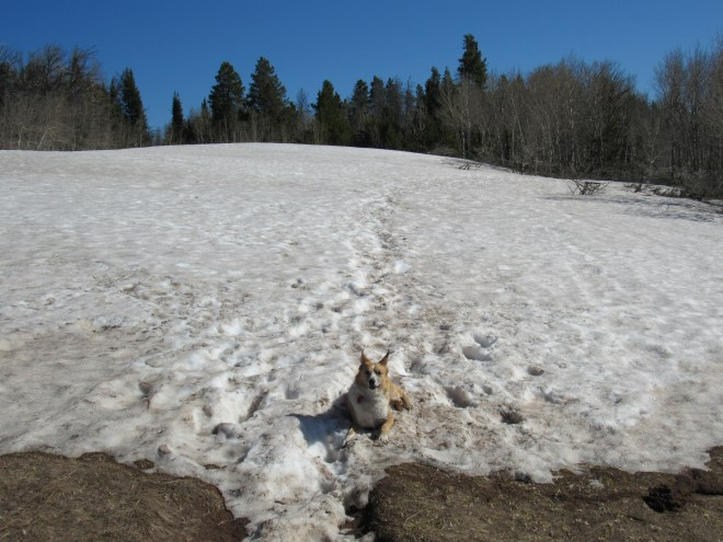 This big snowbank near the W end of the Headquarters National Recreation Trail made for one very happy Carolina Dog! Photo looks NE.