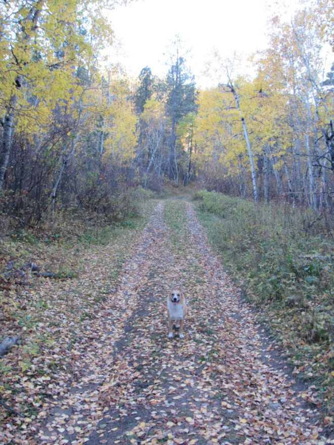 Lupe on USFS Road No. 872.1F. The happy Carolina Dog soon found a squirrel to bark at among the golden aspens. Photo looks SSW.