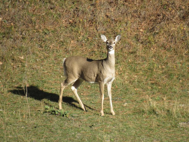 On the way back to the G6 from Sherrard Hill, Lupe saw many deer in the woods. This one was out in the open near Hershey Creek.