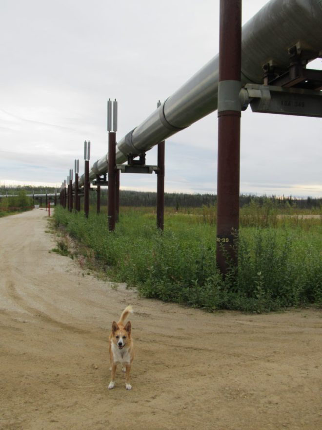 Lupe at the Alaska oil pipeline, N of the Yukon River! Photo looks NNE.