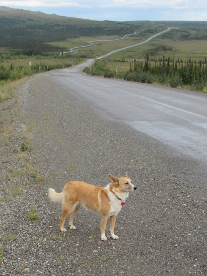 Lupe along the Dalton Highway a little N of Finger Mountain. The Alaska oil pipeline snakes N on the W side of the highway. More importantly, notice the lovely stripe on the road. Yes, it was paved here! Photo looks N.