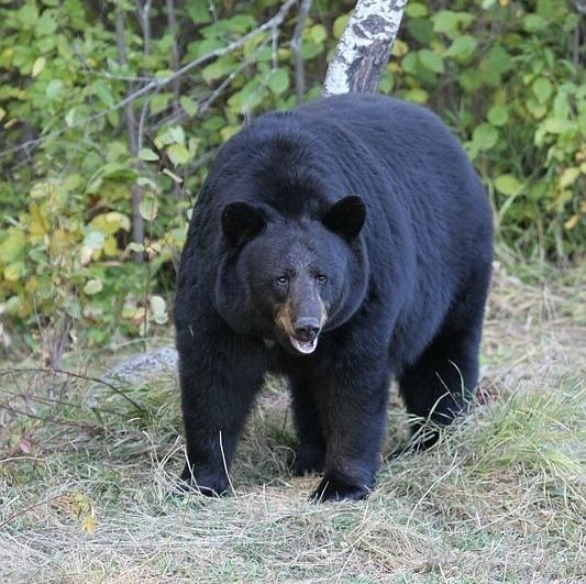 Black bear attacks scout leader, pulls him into a cave