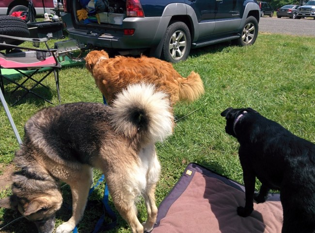 Willow and some dog friends in camp
