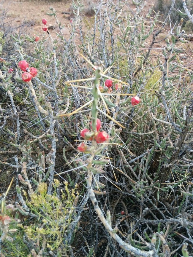 plant with red berries and vicious 2 inch spines