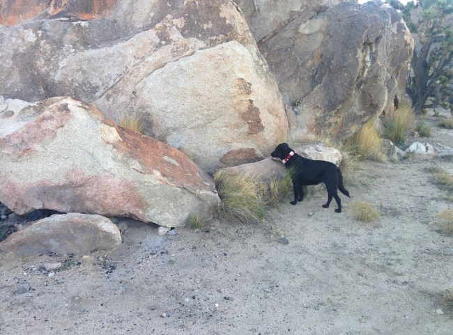 "dog back ""pointing"" at whatever little creature is hiding in the rocks"