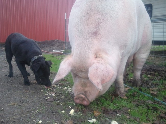Black dog nibbling corn cobs next to a 1000lb pig