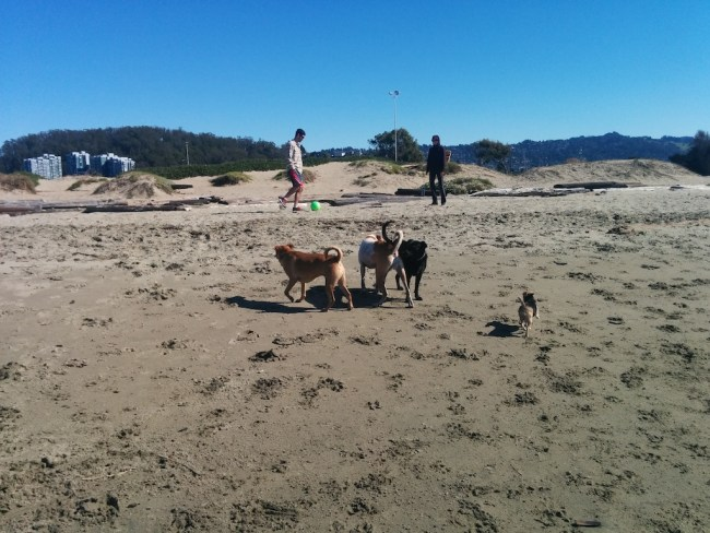 Willow Romping with Two of Her Pals on the beach