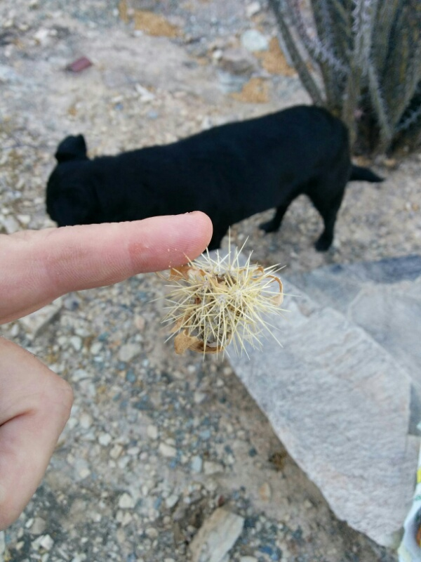 cholla cactus part stuck to my finger