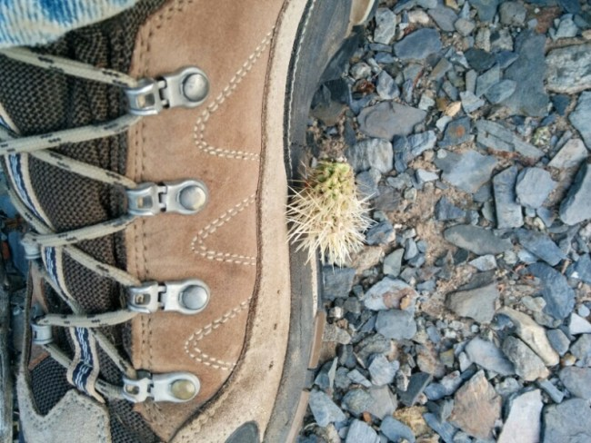 cholla cactus thorn ball stuck to my Asolo boots