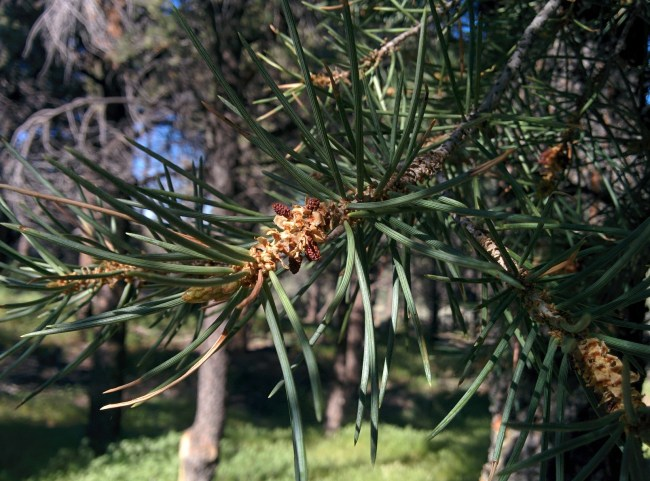 pollen bud on a Ponderosa Pine tree