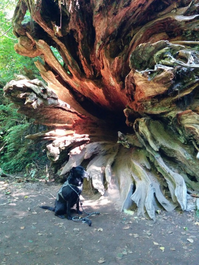 Willow sitting in front of the root system of a fallen giant (tree)