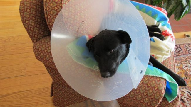 Recuperating In Her Cone Of Shame, Eyes Glazed In Tramadol Bliss
