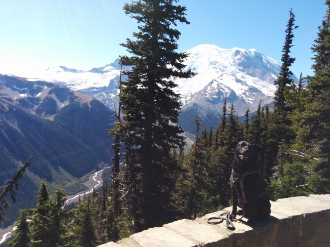 Willow sitting on a rock wall overlooking the white river valley and Emmons Glacier in Mt. Rainier National Park