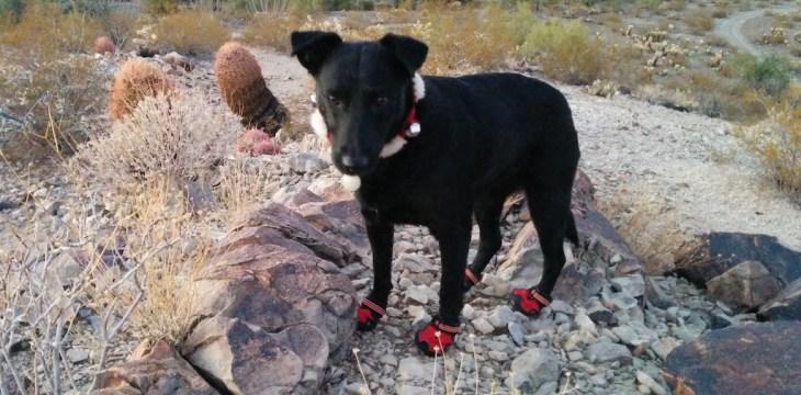 Willow wearing her Ruffwear booties