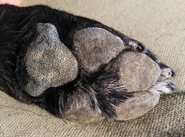 Close-up of Willow's paw and her dry paw pads