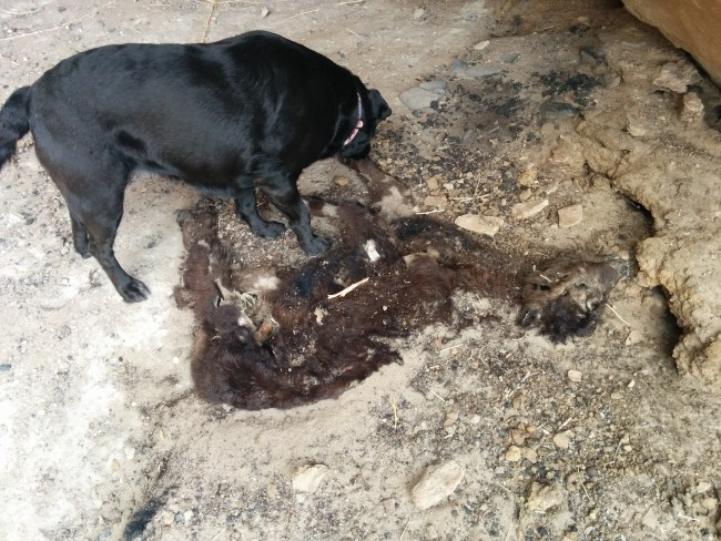 Willow just about to pee on the dead and decomposed baby cow carcass