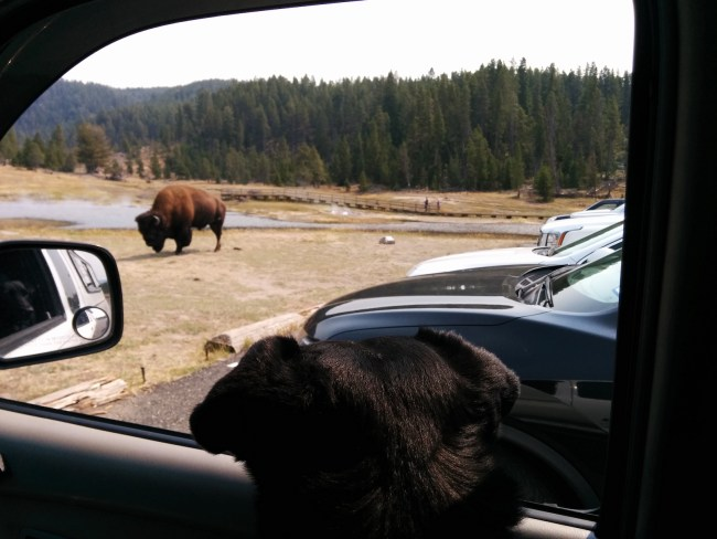 Willow looking out the Tacoma Window at a bison
