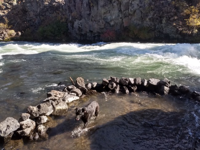 Willow wading in the Deschutes River within a small rock enclosure