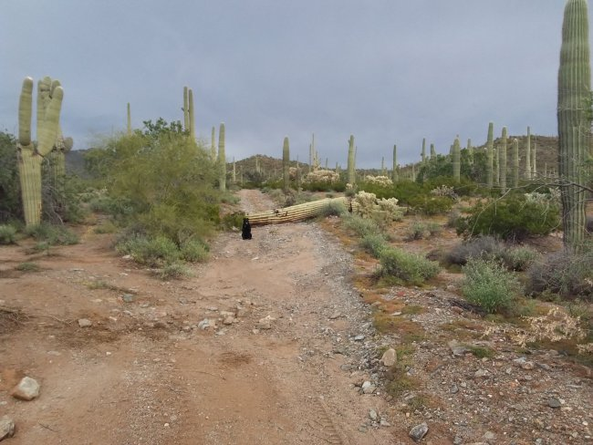 Willow sitting in front of a large, dead Saguaro cactus fallen across the road