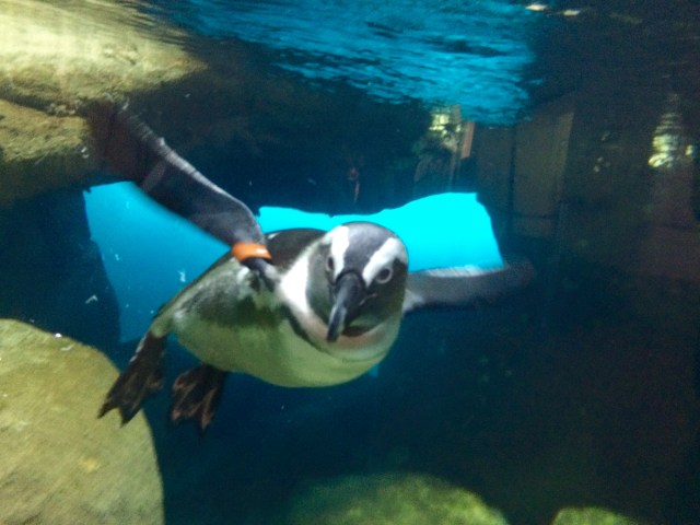 California_academy_of_sciences_penguin