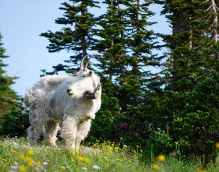 Mountain goat on the trail to Hidden Lake overlook