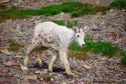 Baby mountain goat on the trail to Hidden Lake overlook