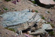 Marmots on the trail to Hidden Lake overlook