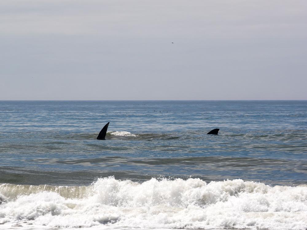 Whales on Kalaloch Beach 3. www.adventuringbeyond.com
