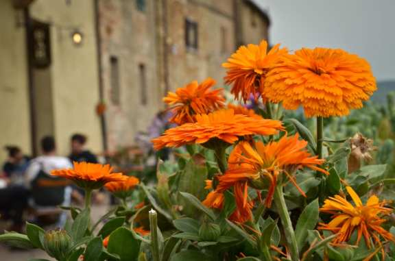 Marigolds in Pienza