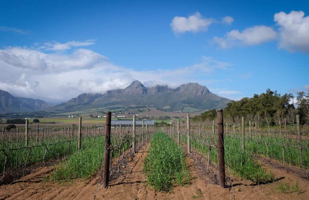 Rows of vines at a vineyard in Stellenbosch, South Africa, mountains in the background.