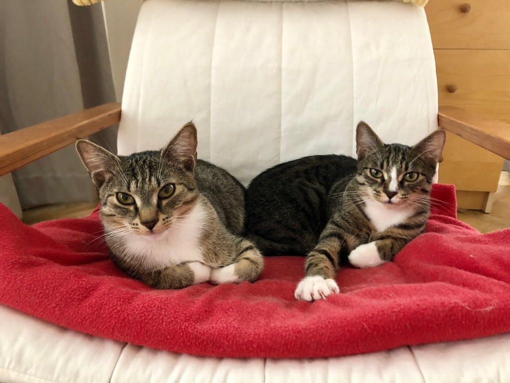 Murray and Lewis, two gray tabby kittens with white bellies and white paws, sitting on a red blanket on a white chair. They both stare straight at the camera, Murray folding his arms beneath him, Lewis reaching one arm out and showing his claws. They are glaring like they're trying to intimidate.