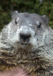 Happy Groundhog Day!!! #groundhogday