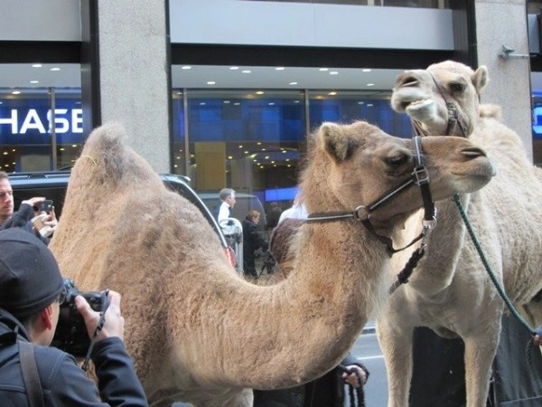 Sheep, Camels and A Donkey Walking On 51st Street in Manhattan! @RadioCity @GetSpectacular @Rockettes