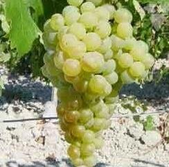 palomino wine grapes