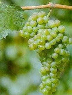 unique grape turbiana grape sotck photo