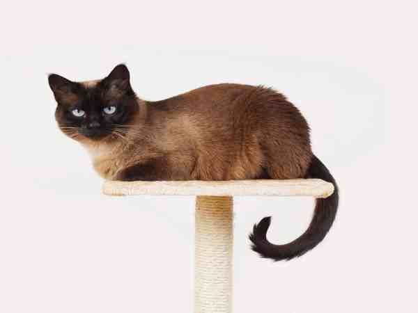 siamese cat resting on lookout platform on top of scratching post