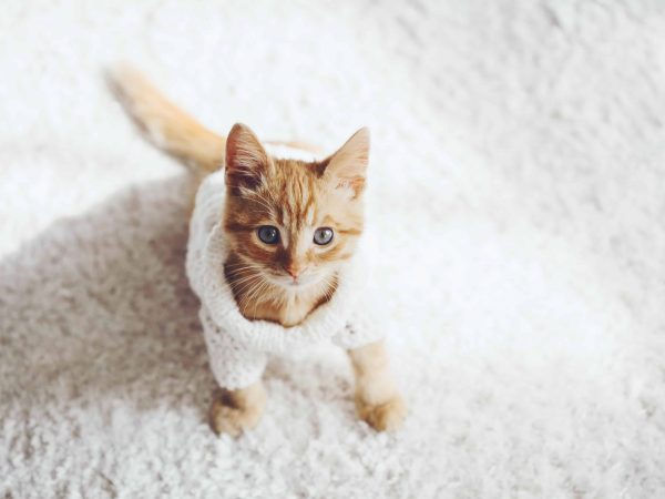Cute little ginger kitten wearing warm knitted sweater is sitting on white carpet, top view point